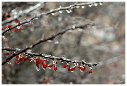 barberry1