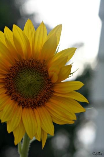 sunflower.bokeh